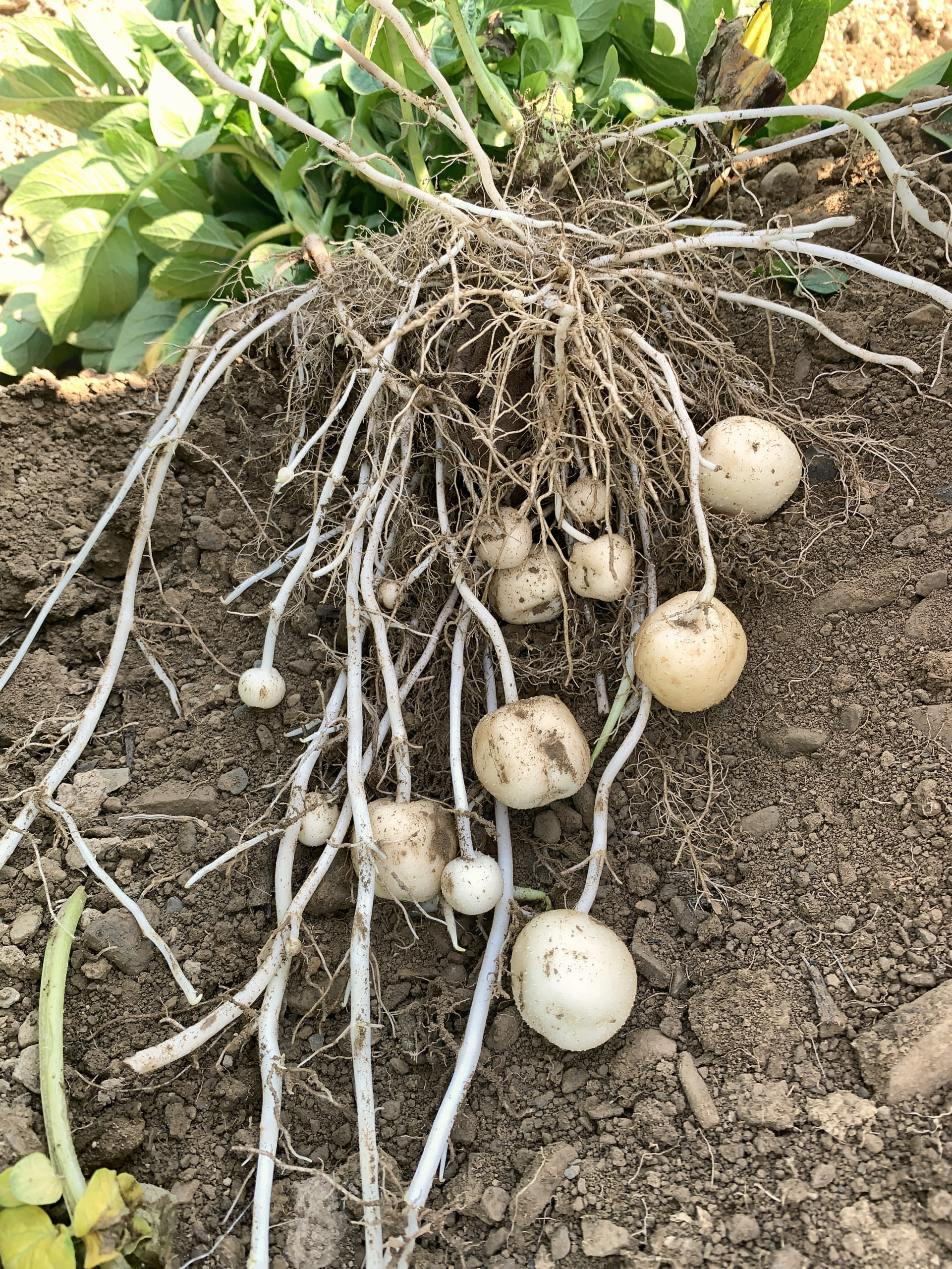 Impact of Chloropicrin Soil Fumigation on Potato Farming in Uncertain Times